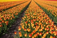 Het gebied van de tulp in Holland Royalty-vrije Stock Foto's