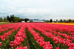 Het gebied van de tulp met roze witte bloemen Stock Fotografie