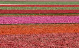 Het gebied van de tulp in Nederland Stock Fotografie