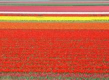 Het gebied van de tulp in Nederland royalty-vrije stock foto's