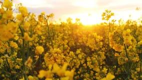 Het gebied van de verkrachting bij zonsondergang De verkrachting bloeit close-upglimp van de gouden zon stock footage