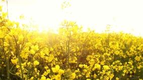 Het gebied van de verkrachting bij zonsondergang De verkrachting bloeit close-upglimp van de gouden zon stock video