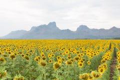 Het gebied van de volledige bloeizonnebloem met berg Royalty-vrije Stock Foto's