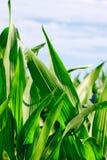 Het gebied van de zoete maïs Stock Foto's