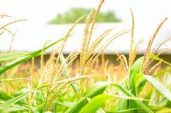 Het gebied van de zoete maïs Royalty-vrije Stock Foto's
