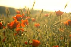 Het gebied van de zomer met bloemen Stock Afbeelding