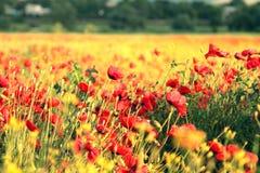 Het gebied van de zomer met bloemen Stock Foto
