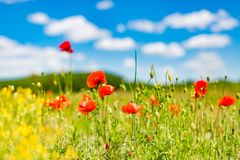 Het gebied van de de zomerpapaver onder blauwe hemel en wolken De mooie weide van de de zomeraard en bloemenachtergrond royalty-vrije stock fotografie
