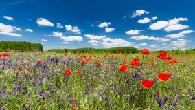 Het gebied van de de zomerpapaver onder blauwe hemel en wolken De mooie weide van de de zomeraard en bloemenachtergrond stock foto's