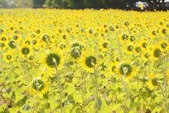Het gebied van de zonbloem Royalty-vrije Stock Foto's