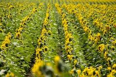 Het gebied van de zonbloem Stock Foto