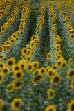 Het gebied van de zonbloem Royalty-vrije Stock Fotografie