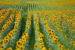 Het gebied van de zonbloem Stock Foto's