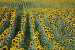 Het gebied van de zonbloem Royalty-vrije Stock Foto