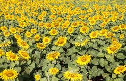 Het gebied van de zonbloem in het landbouwbedrijf van het land Stock Afbeelding