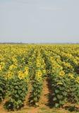 Het gebied van de zonnebloem #1 Stock Foto