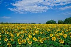Het gebied van de zonnebloem Royalty-vrije Stock Foto's