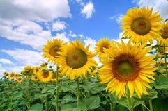 Het gebied van de zonnebloem. Stock Foto