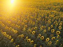 Het gebied van de zonnebloem. royalty-vrije stock foto's