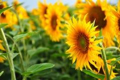 Het gebied van de zonnebloem Royalty-vrije Stock Foto