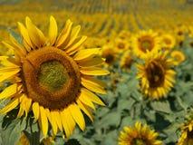 Het gebied van de zonnebloem stock afbeeldingen