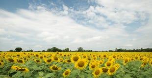 Het gebied van de zonnebloem en bewolkte hemel Royalty-vrije Stock Foto's