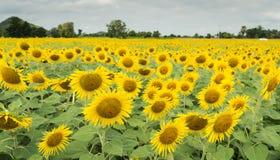 Het gebied van de zonnebloem en bewolkte hemel Royalty-vrije Stock Afbeelding