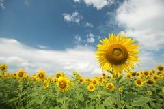 Het gebied van de zonnebloem en bewolkte hemel Stock Afbeeldingen