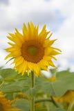 Het gebied van de zonnebloem en blauwe hemel Royalty-vrije Stock Foto's