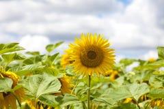 Het gebied van de zonnebloem en blauwe hemel Stock Fotografie