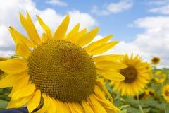 Het gebied van de zonnebloem en blauwe hemel Royalty-vrije Stock Afbeeldingen