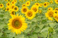 Het gebied van de zonnebloem Heldere geelgroene bloemenachtergrond growing stock afbeelding
