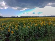 Het gebied van de zonnebloem met bewolkte blauwe hemel royalty-vrije stock foto