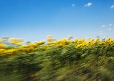 Het gebied van de zonnebloem met blauwe hemel Stock Foto's
