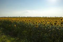 Het gebied van de zonnebloem met blauwe hemel stock foto