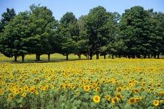 Het Gebied van de zonnebloem met bomen Royalty-vrije Stock Foto's