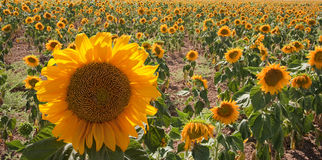Het gebied van de zonnebloem met een grote bloem vooraan Stock Afbeeldingen