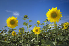 Het gebied van de zonnebloem over blauwe hemel Stock Fotografie