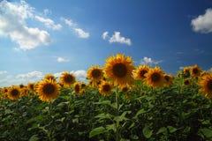 Het gebied van de zonnebloem tegen blauwe hemel Stock Fotografie