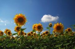 Het gebied van de zonnebloem tegen blauwe hemel Royalty-vrije Stock Fotografie