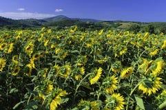 Het Gebied van de Zonnebloem van Toscanië Stock Foto