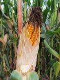 Het gebied van het graan Maïskolf van graan op het gebied stock afbeeldingen