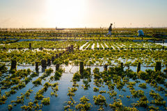 Het gebied van het algenlandbouwbedrijf in Indonesië Royalty-vrije Stock Fotografie