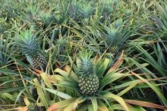 Het gebied van het ananasfruit Stock Fotografie