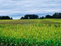 Het gebied van het graan Royalty-vrije Stock Foto's