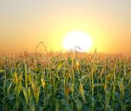 Het gebied van het graan Stock Foto's
