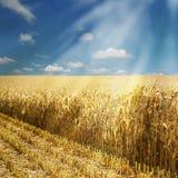 Het gebied van het graan Stock Afbeeldingen