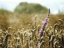 Het Gebied van het graan Royalty-vrije Stock Fotografie