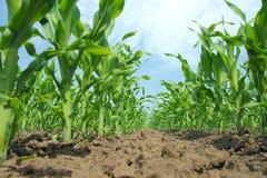 Het Gebied van het graan