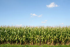 Het gebied van het graan royalty-vrije stock afbeelding
